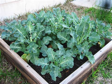 Gardening Broccoli Catch The Bolting Broccoli Before It Flowers A