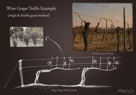 table grape trellis systems table grapes vs wine grapes wine folly