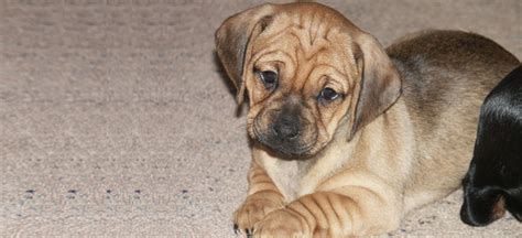 chiweenie pug picture chiweenie pug mix breeds picture