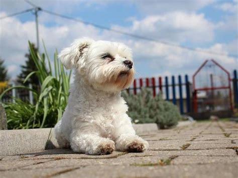 cani per appartamento cani per appartamenti piccoli