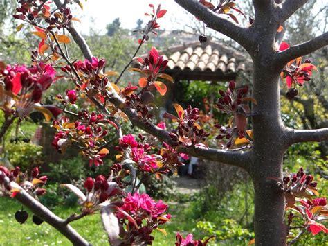 piante primaverili fiorite akebia quinata epoca fioritura piante ricanti