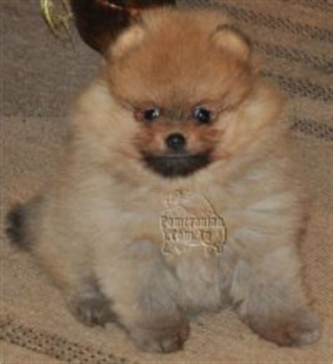different types of pomeranian types of teacup dogs breeds picture