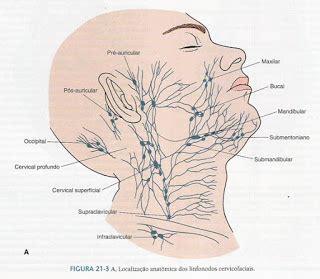 cuales son las cadenas ganglionares del cuello muito bom esse caf 233 linfonodos da cabe 231 a e do pesco 231 o