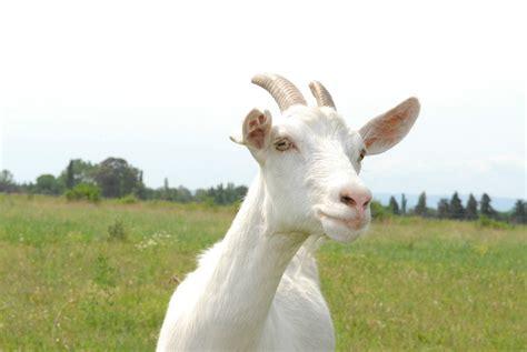 de cabras robert y el negocio de las cabras aetic es