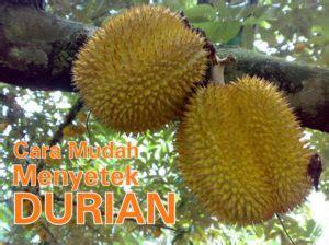 Bibit Durian Petruk Dijual cara mudah menyetek durian pasti tumbuh 1001 cara