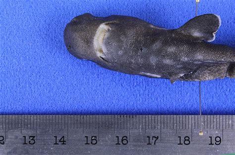 pocket shark diane s corner world lupus day may 10 2015