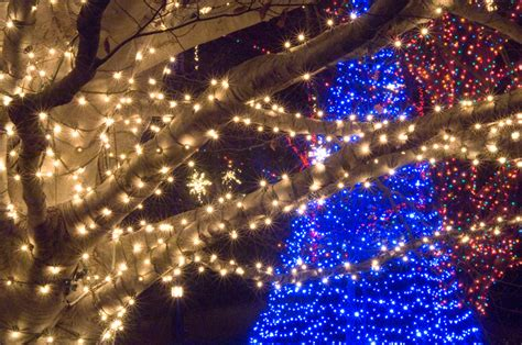 howto wrap christmas lights around tree branches the season bright longwood gardens