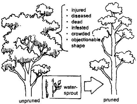 mahogany tree coloring page mahogany tree coloring page sketch coloring page