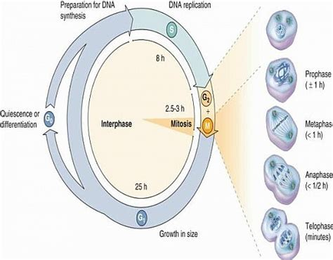 cell cycle diagram to label diagram the cell cycle images how to guide and refrence