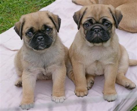 shih tzu puppies for sale scotland area frug puppies pets world
