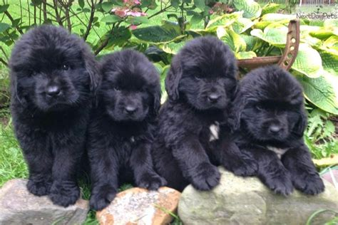 newfoundland puppies of the jungle newfoundland puppies