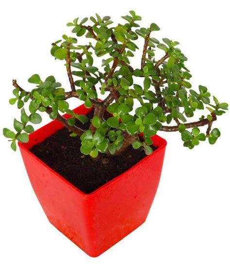 garden small pot plant baby jade crassula indoor indoor