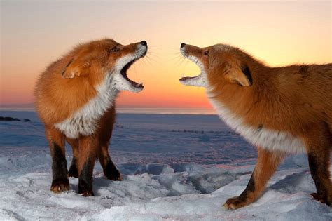 are foxes related to dogs amazing facts about foxes geo travel