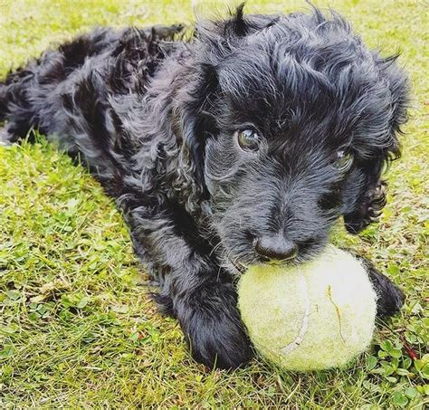 sproodle puppies for sale f1 beautiful minature sproodle puppies for sale stoke on trent staffordshire