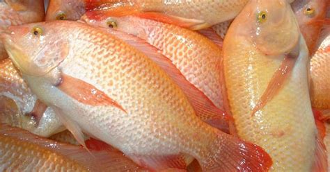 Budidaya Ikan Nila Belajar Dari Praktisi By H Khairuman Sp vhian wahyu note tempeh kidul website budidaya ikan