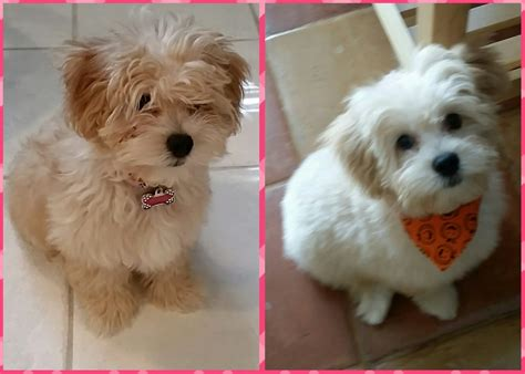 the puppy cut maltipoo cut pin pictures of maltipoo haircuts on