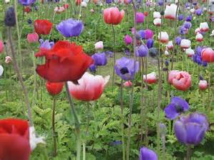 poppy flower colors free pictures field 1233 images found
