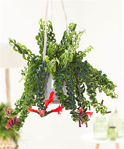 hanging plant buy house plants now lipstick hanging plant twister