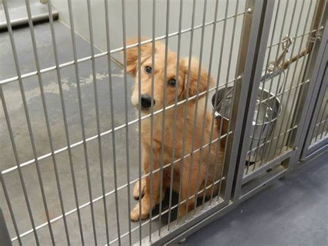 golden retriever animal shelter adoptable dogs for october 7 2013 politics caigns and elections