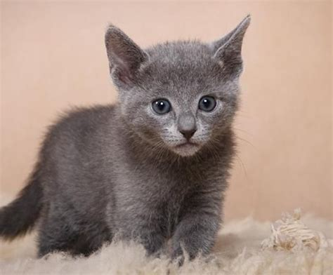 Royal Blue Cats royal russian blue kitten cats grey blue
