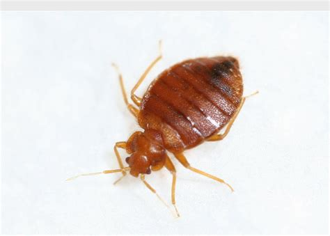 is bed bugs contagious fort worth pest control archives dallas fort worth