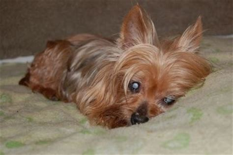 yorkie blindness 17 best images about dogs up for adoption on adoption delray and