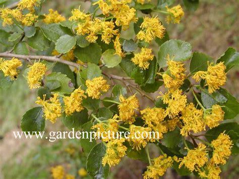 picture and description of azara dentata www esveld nl