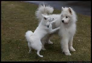 American eskimo dog wallpapers free