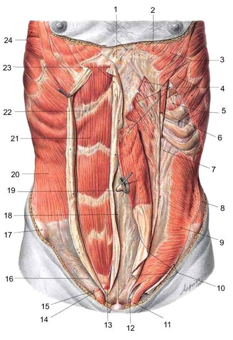 abdominal muscles anatomy ways   healthy body