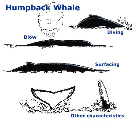 diagram of a humpback whale related keywords suggestions for humpback whale diagram