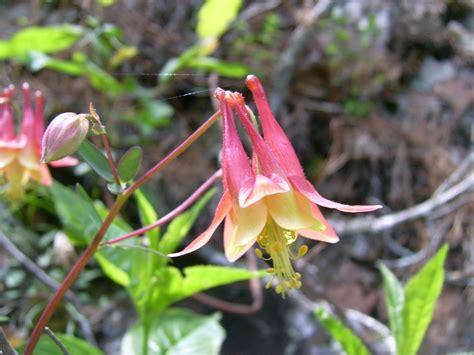columbine plant care guide auntie dogma s garden spot