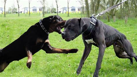 pitbull vs rottweiler rottweiler wallpaper 1280x720 58968