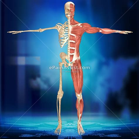 A Tour Of Your Muscular And Skeletal Systems downlaod right skeletal system left muscular system 3d image at low price