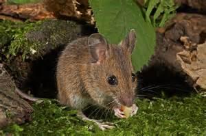 wood mouse apodemus sylvaticus wildlife photography