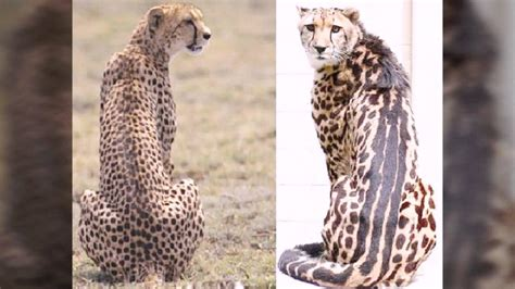 difference between jaguar leopard and panther jaguar leopard and cheetah differences