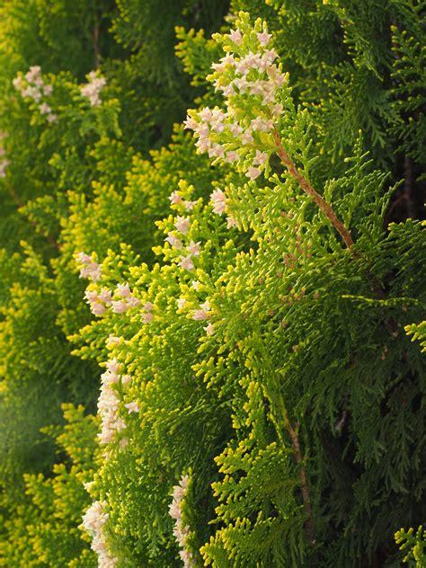strauch garten winterhart kostenlose foto blume produzieren immergr 252 n botanik