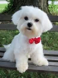 hair cut for maltese around the 1000 ideas about dog haircuts on pinterest dog grooming