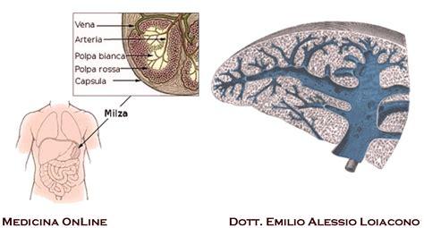 corpo umano organi interni milza a cosa serve la milza e significa rottura della milza