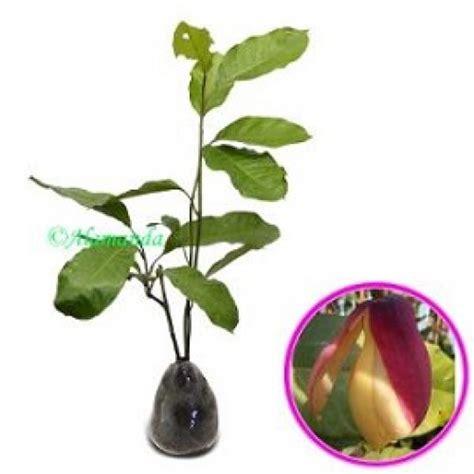 jual tanaman cempaka kelopak ungu hp 085608566034