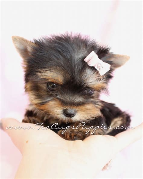 pictures of yorkie puppies yorkie puppies teacup yorkie my i want puppys will