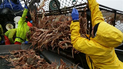 a crab pot full of snow crab josh thomas jpeg 1413381502