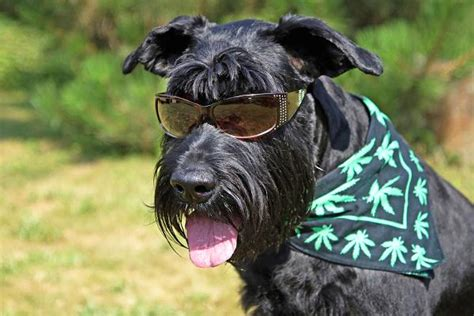 marijuana and dogs scoring for rover marijuana s newest business