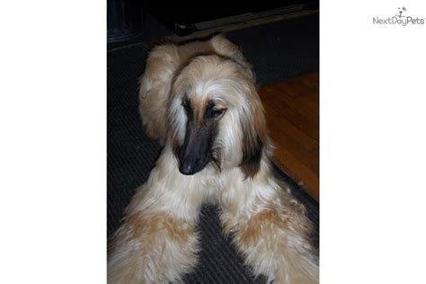 akc afghan hound puppies for sale afghan hound puppies afghan hound breeders afghan hounds for sale breeds picture