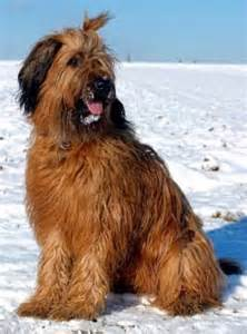 best wallpapers briard large breeds picture
