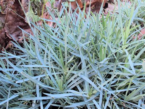blue foliage plants 8 plants that look after bitter cold garden