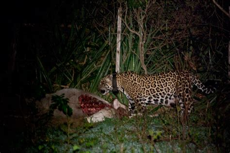 what do jaguars eat in the tropical rainforest jaguars fight kill oncafari jaguar project