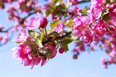 crab apple fiori di bach crab apple il fiore depuratore per il piano fisico