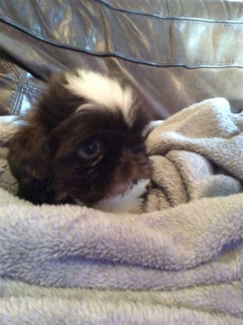 shih tzu puppies for sale in essex shih tzu puppies for sale grays essex pets4homes