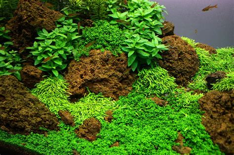 Aquascaping Materials by Naturesoil Step By Step Layout Nr 3 By Oliver Knott 2 Months After Set Up Photo Oliver Knott