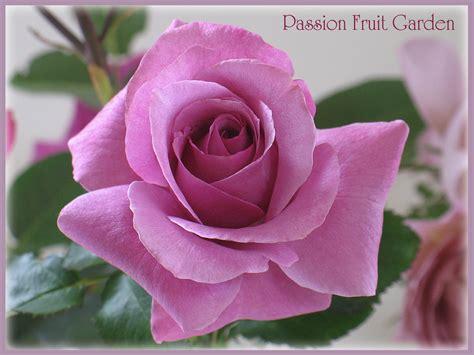 barbra streisand the rose hybrid tea roses passion fruit garden